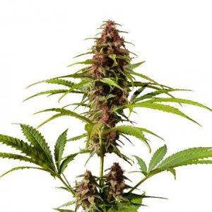 DJ Short Blueberry Feminized Marijuana Seeds